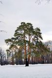 Old tree in Tsaritsyno park in Moscow Royalty Free Stock Image