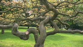 Old tree with twisted branches. Dry oak in the park stock footage