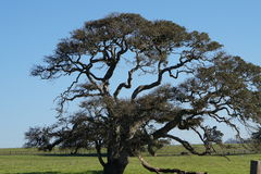 An Old Tree under Blue Sky Stock Photography