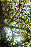 Old Tree Under Sunlight Royalty Free Stock Image