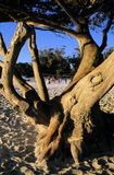 Old Tree and Volleyball on the Beach. A gnarled old cypress tree in the foreground and volleyball players on beach in the distance at Carmel, California Royalty Free Stock Photography