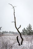 Old tree in winter Royalty Free Stock Image