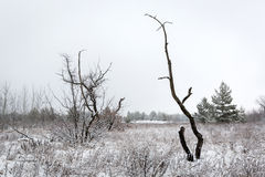 Old tree on winter meadow Stock Image