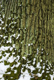 Old tree wood, bark with green moss texture Royalty Free Stock Photography
