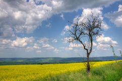 Old tree and yellow rape blossom field Royalty Free Stock Images