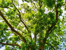 Old tree with young leaves. Old tree young leaves nature vibrant color green park stock photos