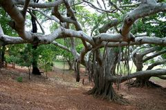 Old Trees. Huge old fig trees Stock Images