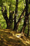 Old trees. In an autumn wood Stock Photo