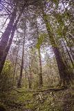 Old trees. Alpine forest at an altitude of over 2,000 meters Royalty Free Stock Photography