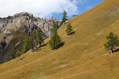 Old trees on alpine grassland Royalty Free Stock Image