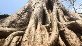 Old trees in ancient temple. The old trees in ancient temple stock video