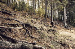 Old trees in the autumn forest. Royalty Free Stock Photography