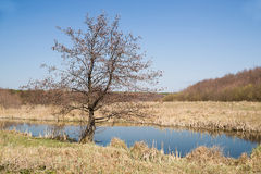 Old trees on the bank of the river in the spring  Stock Image