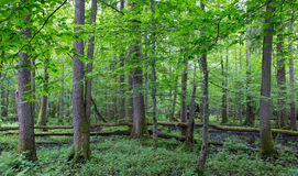 Old trees of Bialowieza Forest Stock Photo