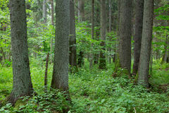 Old trees of Bialowieza Forest Stock Photography