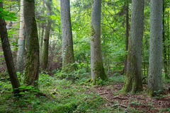 Old trees of Bialowieza Forest Royalty Free Stock Photo
