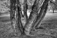 Old trees. Black and white old trees in nature Stock Photography