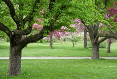 Old trees in blooming orchid Royalty Free Stock Photos