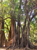 Old trees in Botanical Garden of Hamma in Algiers. It was established in 1832 and is now still considered one of the most. ALGIERS, ALGERIA - SEP 24, 2016: Old royalty free stock photo