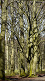 Old trees with buds. Stock Images