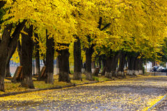 Old trees in city park. Old trees stand in a row in uzhgorod city park in earli autumn Royalty Free Stock Images