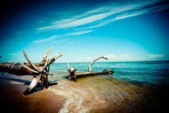 Old trees on the coast of sea Stock Images