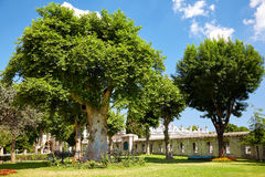 The old trees in the courtyard of Blue Mosque, Istanbul Royalty Free Stock Images