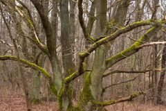 Old trees covered with moss. Old trees covered with moss in a wild forest area Royalty Free Stock Photography