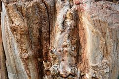 Old trees dying. Older bark, the wood resists harsh environments Stock Photography