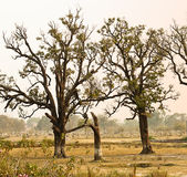 Old trees in field Royalty Free Stock Images