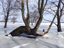 Old trees in flood field in winter , Lithuania. Beautiful old trees in flood field in winter, can use as background royalty free stock image