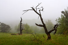 Old trees in fog Royalty Free Stock Image