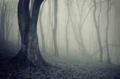 Old trees in a forest with fog. Old trees in a dark forest with fog Royalty Free Stock Photography