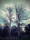 Old trees Royalty Free Stock Image