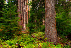 Old Trees. Forest scene in the Hackleman Old Growth Grove - OR royalty free stock photography