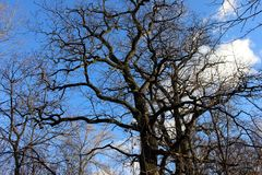Giant oak tree with bare branches against blue sky with spring clouds Royalty Free Stock Photos