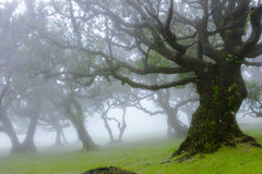 Old Trees in the mist Royalty Free Stock Image