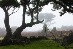 Old Trees in the mist Royalty Free Stock Photo