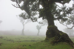 Old Trees in the mist Stock Photos