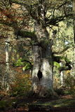 Old Trees of the National Park Reinhard Forest Stock Photography