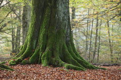 Old Trees of the National Park Reinhard Forest Royalty Free Stock Images