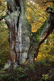 Old Trees of the National Park Reinhard Forest Stock Photo