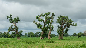 Old trees with newly sprouting leaves Royalty Free Stock Images