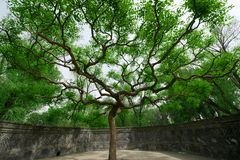 Old trees in the old Summer Palace. A old trees in the old Summer Palace Royalty Free Stock Photo
