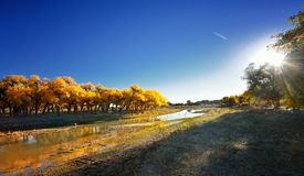 Old trees - Populus euphratica Stock Images