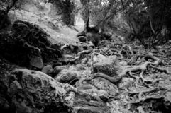 Old trees and rocks black white royalty free stock photography