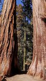 Old trees in Sequoia National Park. Trunks of two old trees in Sequoia National Park, California, USA stock photos
