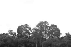 The Old Trees. Some old trees at Kebun Raya Bogor Stock Photo