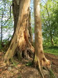 Old trees trunk Royalty Free Stock Photo