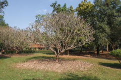 Old Trees with Wide Branches at Wat Pra Khaeo Kamphaeng Phet Province, Thailand Royalty Free Stock Photography